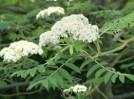 rowan-flowers-paul-sterry-NPL